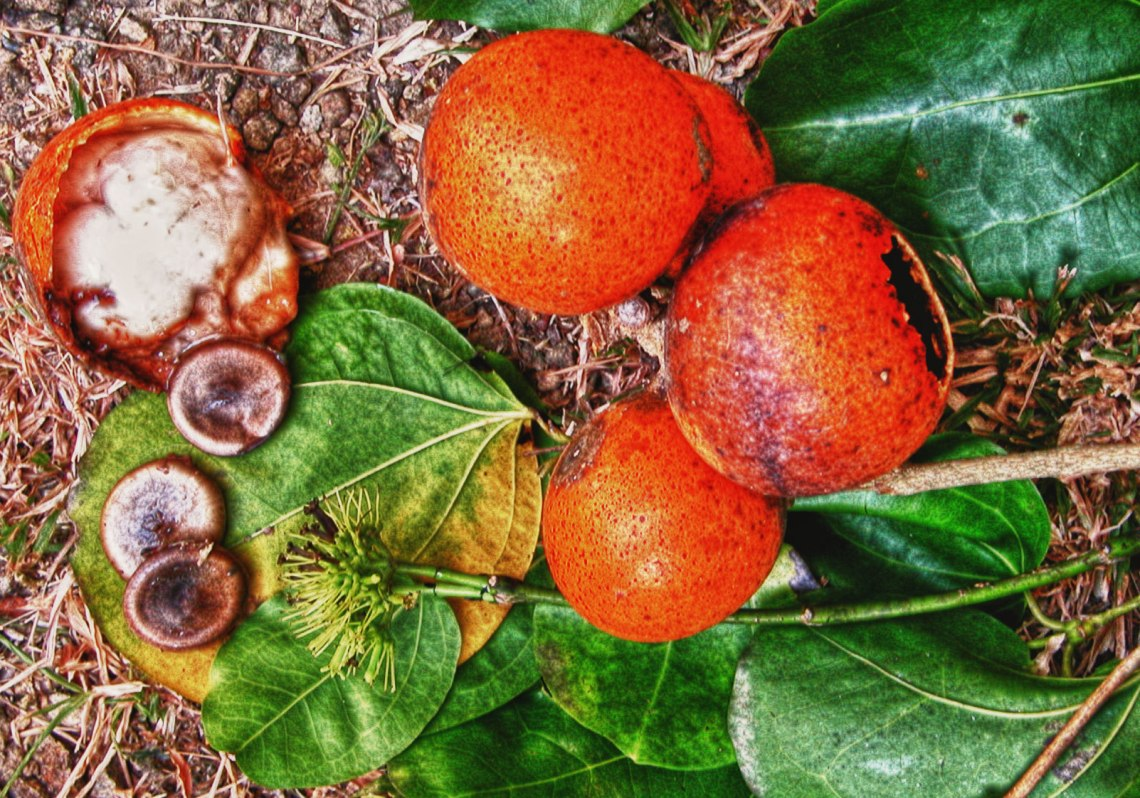 Cây Mã tiền (Strychnos nux - vomica L.)