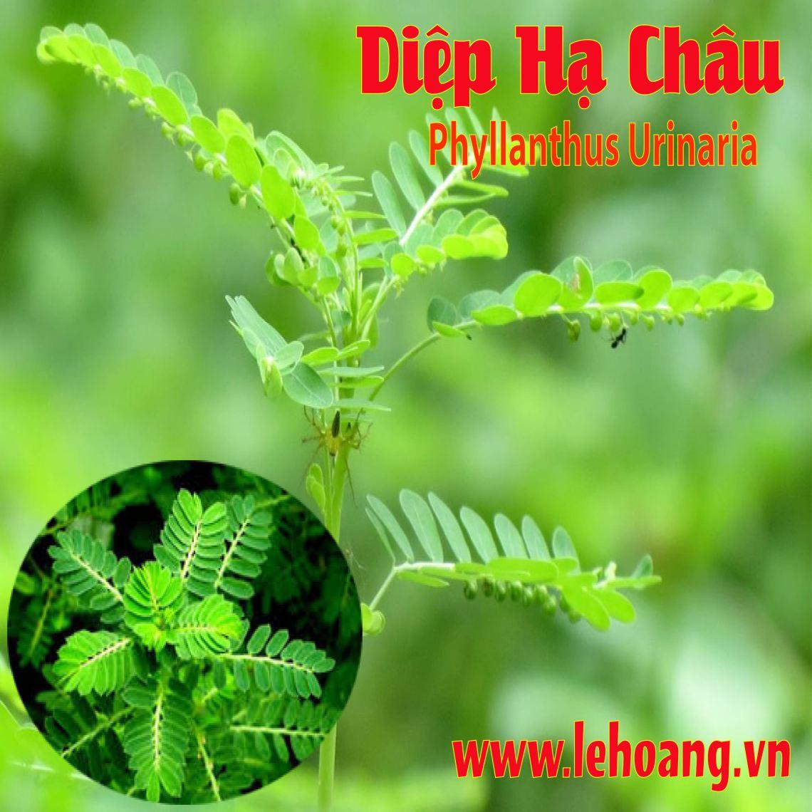 Mua Bán Cây Diệp Hạ Châu l Cây Chó đẻ (Phyllanthus) tại TpHCM