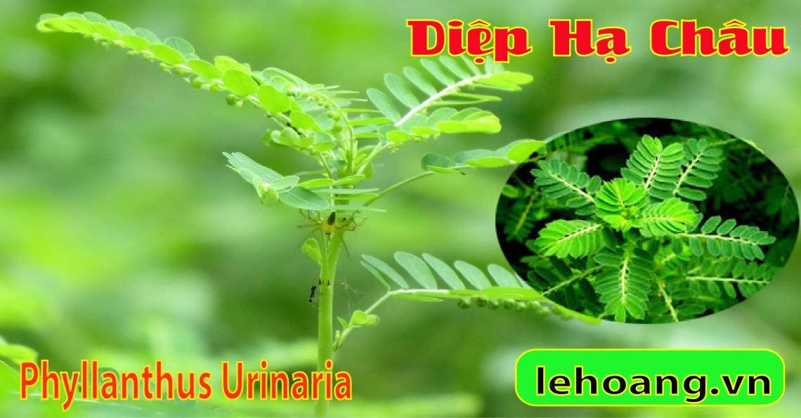 Cây Diệp Hạ Châu l Cây Chó đẻ (Phyllanthus)